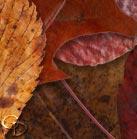Fallen Leaves PNGs