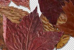 Fallen Leaves I PNGs